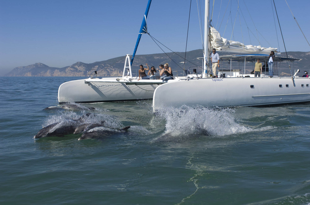 Bottlenose Dolphins (Tursiops truncatus), with a dolphin watching catamaran